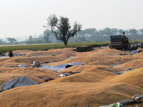 kukurūzai,kukurūzai,Indijos kukurūzai,daržovės,sėklos,maistas,geltona,pasėlių,derlius,navalgundas,Indija
