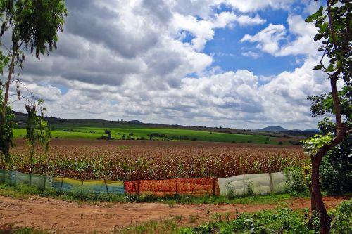 kukurūzų auginimas,derlius paruoštas,sluoksniniai debesys,Hubli-Siris kelias,uttar kannada,Indija