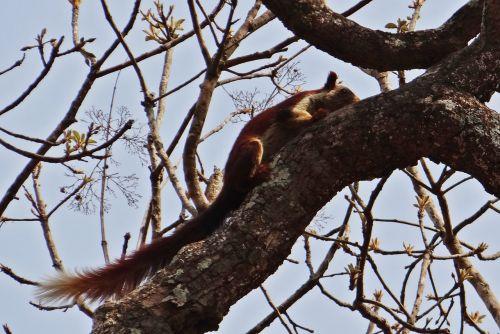 malabar gigantiška voverė,ratufa indica,Indijos milžiniška voverė,laukinė gamta,gyvūnas,voverė,Karnataka,Indija