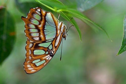 malachito drugelis,drugeliai,edelfalter,vabzdys