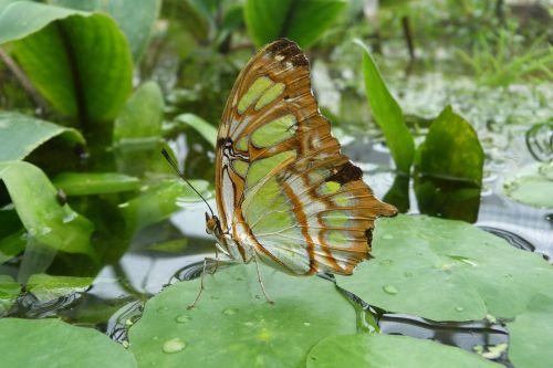 malachito drugelis,drugelis,siproeta stelenes,sparnas,vabzdys,malachitas,gamta,drugeliai,žalias,ruda,pastebėtas,egzotiškas,drugelis namas