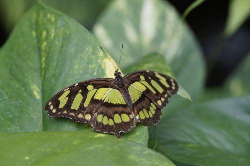 malachito drugelis,sparnas,skleisti,lapai,sėdėti,drugelis,atogrąžų,egzotiškas,Mainau sala,drugelis namas