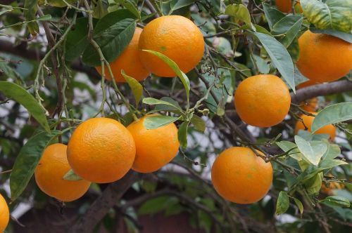 Maljorka, vaisiai, apelsinai, sėti