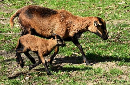 Mama, jauna, avių, atgimė, jauna gyvūnų, Naujagimis, mielas, Gyvūnijos pasaulyje, saldus, gyvūnai, mažas