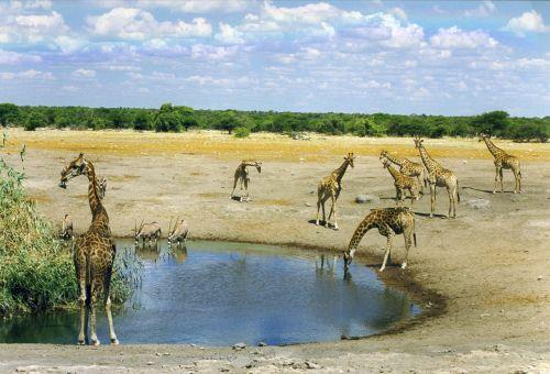 žinduolis,laukinis gyvūnas,afrika,Namibija,savana,vandens skylė,potions,laistymo anga,dykuma,giraffa camelopardalis,gamta,retikuliuotas žirafas