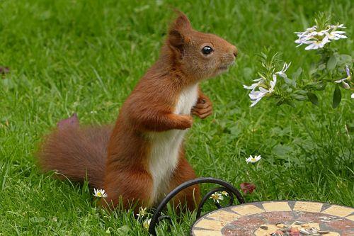 žinduolis,voverė,sciurus vulgaris major,sodas,maitinimas