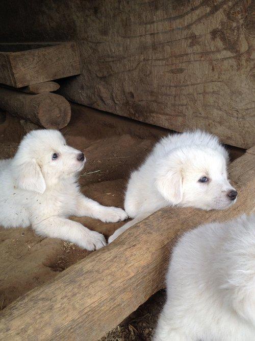 žinduolis, mielas, gyvūnas, šuo, sėdėti