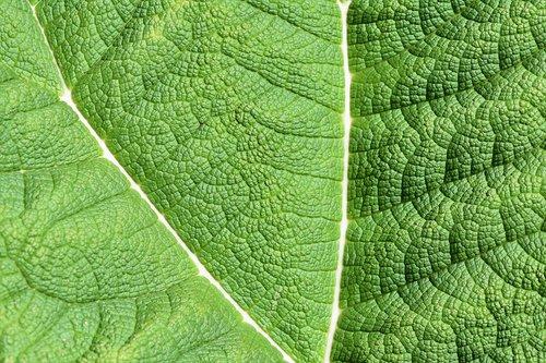mamutas lapas, lapų, žalias, milžinas rabarbarai, mamutas lapų gunnera, Lapų gyslos, gunnera-tinctoria, augalų, sodo augalų, fonas, pobūdį, tekstūra