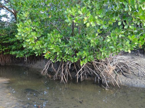 mangroviai,miškas,pelkė,oro šaknys,karwar,Indija