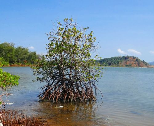 mangroviai,potvynis,upelis,arabų jūra,oro šaknys,Indija