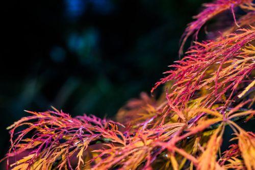 klevas,raudona,kritimo lapija,lapai,ruduo,medis,gamta,lapai,krūmas,filialas,raudonas klevas,augalas,ventiliatorius klevas,adatų lapų klevas,klevo lapai,japanese,dažymas,raudonieji klevo lapai,japonų klevas
