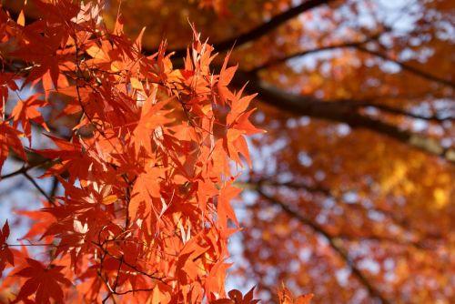 klevas,japonų klevas,momiji,kritimas,lapai,gamta,japanese,purpurinė klevas,Japonija,rudens lapas,miškas,rudens klevas,sezonas