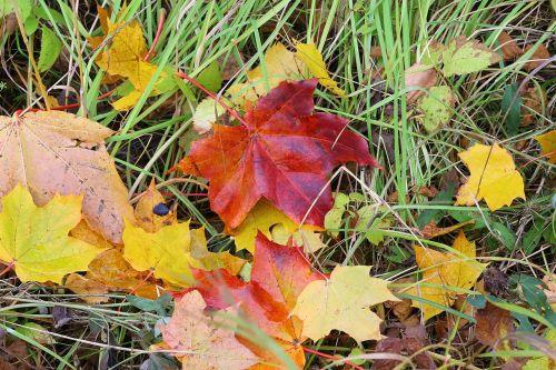 klevas,lapai,ruduo,grožis,geltonas lapas,klevo lapas,aukso ruduo,gamta,rudens lapai,geltonieji lapai,lakštas,rudens lapas,listopad,medis,geltona,šviesus,Iliustracijos,parkas,augalas,auksinis klevas,klevo lapai,saulėta diena,Iš arti,vaikščioti,atsiskyrimas,medžiai,Rusija,auksiniai klevai,žolė
