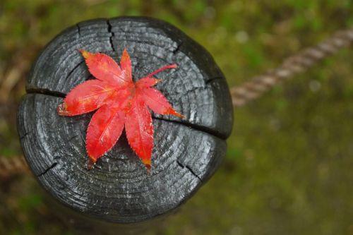 klevas,kritimas,lapai,raudona,rudens lapai,raudonas lapas,lapai,lietus,gamta,rudens lapas,raudoni lapai,medžių lapai,momiji,Japonija,québec,ruduo,medis,klevo lapai,mediena,žurnalas,sausas lapai