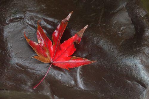 klevas,kritimas,lapai,raudona,rudens lapai,raudonas lapas,lapai,lietus,gamta,rudens lapas,raudoni lapai,medžių lapai,momiji,Japonija,québec,ruduo,medis,klevo lapai,pierre,Rokas,sausas lapai