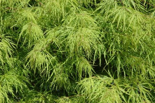 klevas,lapai,žalias,medis acer platanoids,adatų lapų klevas,lapai,lapų žarnos,lapija,gamta