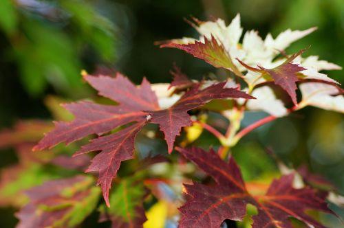 klevas,lapai,spalvinga,miškas,adatų lapų klevas,spalva,atgal šviesa,raudonas klevas,kritimo spalva,apdaila
