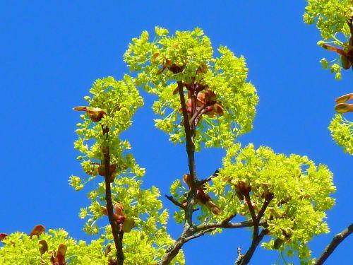 klevas,klevo žiedų žiedai,pavasaris,gamta,ankstyvas bloomer,šviesiai žalia,neonas žalia
