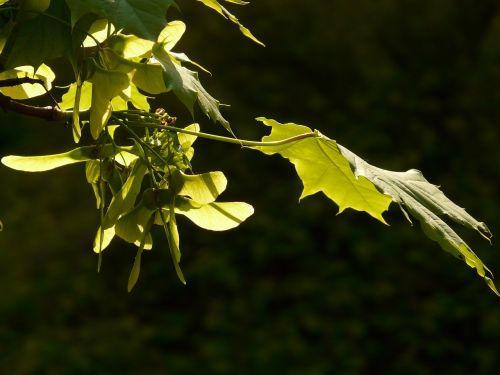 klevas,klevo lapas,lapai,medis,žalias,venos,Norvegijos klevas,acer platanoids,adatų lapų klevas,saulė,šviesa,apšviesti,klevo vaisiai,fliegerle,rotacija,stulpelio vaisiai,sraigtasparnis,sėklos
