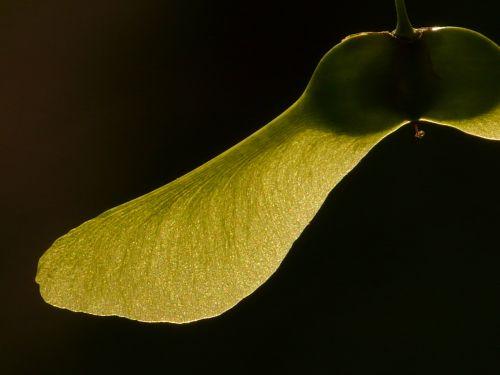 klevo vaisiai,klevas,medis,žalias,Norvegijos klevas,acer platanoids,adatų lapų klevas,saulė,šviesa,apšviesti,rotacija,stulpelio vaisiai,geflüglete klevo vaisiai,sėklos