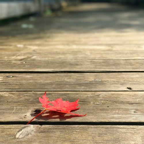 klevo lapas,klevas,lapai,raudona,mediena,gamta,kritimas,klevo lapai,rudens lapas,medis,lapai,rudens lapai,raudonas lapas,québec,Kanada,fonas,Šalis,ruduo,medžių lapai,raudoni lapai