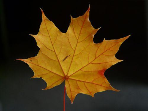 klevo lapas,lapai,dažymas,klevas,raudona,oranžinė,raudona oranžinė,ruduo,Norvegijos klevas,acer platanoids,adatų lapų klevas