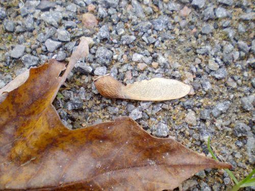 klevas, lapai, sėkla, klevo lapas ir sėkla