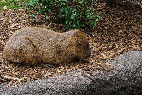 Mara, Zoo, gyvūnas, graužikų, žinduolis, mara žinduolis, gyvūnų fotografie, mielas, korpusas, rūšių graužikų, kailiai, pilka ruda