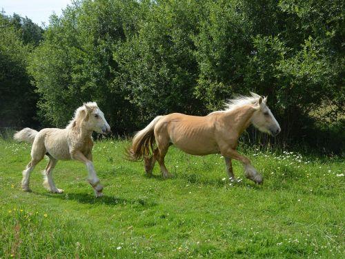 Mare,kumeliukas,pre,arkliai,arklys,veisliniai arkliai,broodmare,žalias,gamta,arkliai