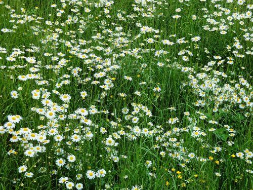 Marga Apeina Pievą, Daisy, Pieva, Pavasaris, Gėlių Pieva, Balta, Žalias, Vasaros Pieva, Laukinės Vasaros Spalvos, Gėlės