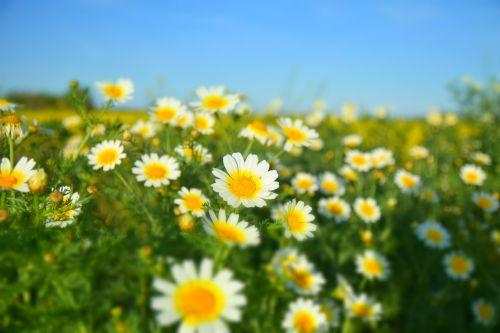 Margaritas,gėlės,pavasaris,spalvos,žiedadulkės,geltonos gėlės,gamta