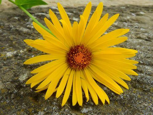 marguerite,gėlė,žiedas,žydėti,augalas,sodas,žydėti,pavasaris,geltona