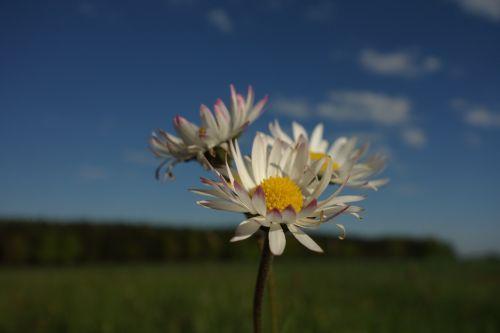 maržos važiavimas,gėlė,Mage apeigas,pavasaris,juvelyriniai lelijos,gėlės,purpurinė gėlė,geltona gėlė,graži gėlė,Daisy,Uždaryti,detalės,rožinis,rožinė daisy,dangus,fonas,makro,m,žiedas,žydėti