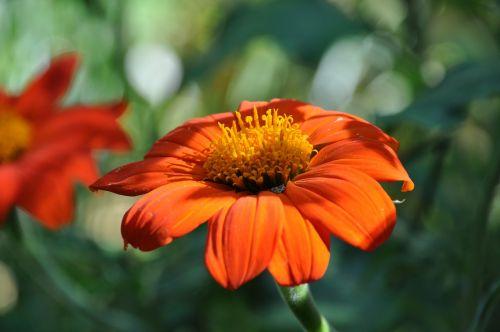 marguerite,Daisy,žydėjimas,pavasaris,gamta,sodas,žiedadulkės,gėlė,parkas,oranžinis žiedas,žydėjo,oranžinė,ryškiai spalvos