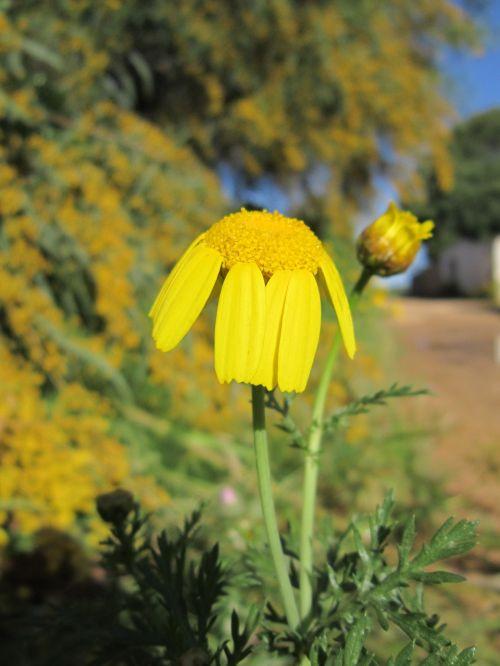 marguerite,Uždaryti,gamta,pavasaris,geltona,gėlė,laukinė gėlė,augalas,pievos margeritas,žydėti,geltona gėlė,pavasario gėlė,gėlė kelio pusėje