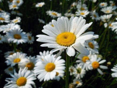 marguerite,leucanthemum,žiedas,žydėti,gėlė,vasara,kompozitai,balta
