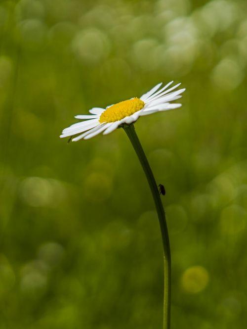 marguerite,Bokeh,augalas,gėlė,žiedas,žydėti,balta,gamta,žydėti,pilnai žydėti,laukinės vasaros spalvos,žiedlapiai,Uždaryti,laukinė gėlė,geltona,makro,pavasaris,vasara,pieva,sodas
