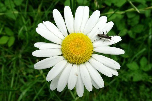 marguerite,vabalas,pievos margeritas,kompozitai,balta gėlė