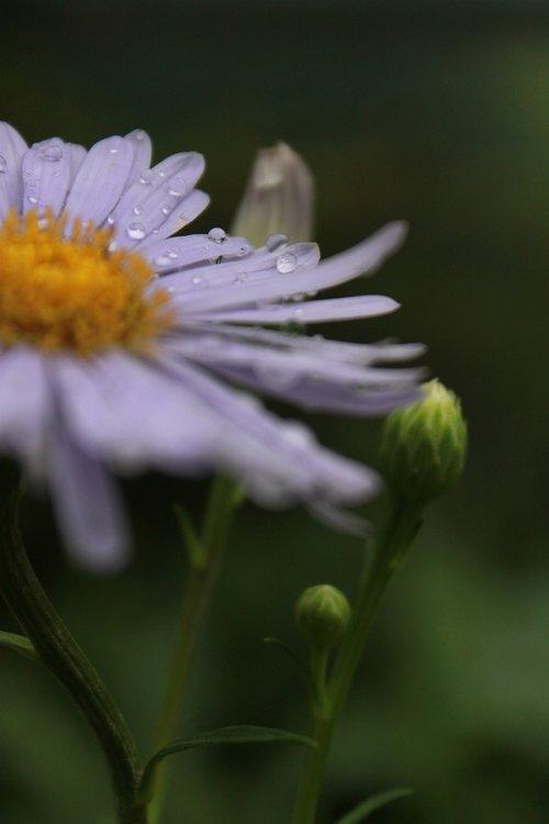 Marguerite, Margaret, gėlės, Margaret gatvė, žiedas, gamta