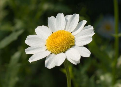 marguerite,leucanthemum paludosum,gėlė,žiedas,žydėti,leucanthemum,pavasaris,kompozitai,asteraceae,gražus,augalas,geltona