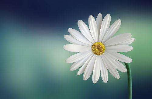 marguerite, Daisy, gražus, grožis, žydėti, žydi, žiedas, mėlynas fonas, botanikos, botanika, Iš arti, Iš arti, Iš arti, spalva, spalvos, dekoratyvinis, flora, gėlių, gėlė, žalias, galva, vienišas, makro, natūralus, gamta, vienas, žiedlapiai, augalas, sezonas, pavasaris, stiebas, vasara, geltona