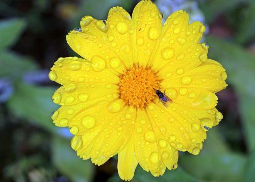 marigoldas,kalendra,geltona,žiedas,žydėti,sodininkystė,kompozitai,skristi,vabzdys,gerti,troškulys,liūtys,po lietaus,lašelinė,šlapias,vaistinis augalas,vasaros gėlė,augalas,Uždaryti