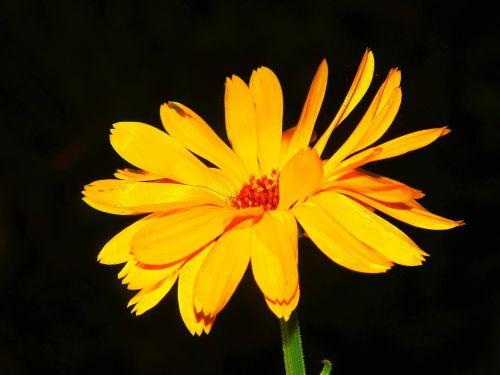 marigoldas,kalendra,calendula officinalis,gėlių pieva,natūropatas,Uždaryti,žiedas,žydėti,oranžinė,gėlė,kompozitai,korbblüter