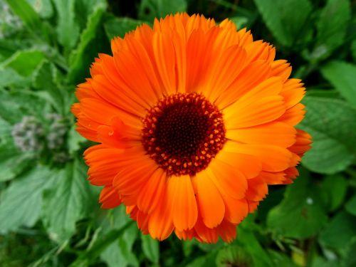 marigoldas,oranžinė gėlė,sodininkystė,calendula officinalis,kompozitai