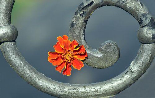 marigoldas,žiedas,žydėti,augalas,gėlė,kompozitai,Uždaryti,oranžinė,šviesus,gražus,vasaros gėlė,metalas,spiralė,tinklelis,tikslas,geležis,senas,dekoratyvinis,gėlė iš metalo,metalas ir gėlė,ištemptas,išmetamas metalas,spalvos lapai,laiko dantis,trumpalaikis,pagaliau,gedulas,atsisveikinimas