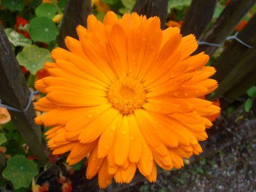 marigoldas,oranžinė,žiedas,žydėti,vaistinis augalas,kompozitai,sodo sodas,liūtys