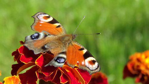marigoldas,gėlė,makro,drugelis,gamta,vabzdys,rusalka,dažytas povas,nymphalidae