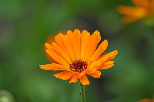 medetkų, Calendula officinalis, žiedas, žydi, vaistinių augalų, kompozitai, oranžinis