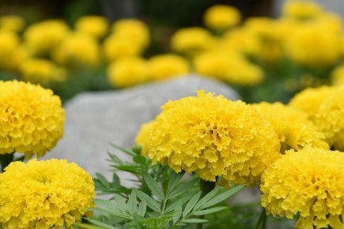 medetkų gėlė,gėlės,gamta,geltona,geltonos gėlės,gaivus,gėlė,šviežios gėlės,marigoldas,sodas,krūmų gėlės,fonas,medžio dekoras,gėlių sodas,graži
