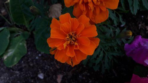 marigolds,oranžinės marigolds,gėlės,vasara,augalai,sodas,lauke,Švedijos vasara,Švedijos,lapai,vasaros gėlės,gėlė,žalias,Iš arti,Švedija,augalas,žydėjimas,gražus,graži gėlė,žaluma,vasaros gėlė,spalvinga
